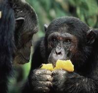 Šimpanz je natoľko múdry, že si vie sám naordinovať účinné liečivé byliny.