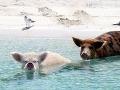 Fenomén, plávajúce prasiatka na Bahamách