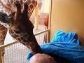 Srdcervúci moment zo ZOO: Žirafa bozkom odprevádza umierajúceho opatrovateľa