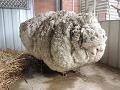 Strateného Chrisa našli po rokoch úplne zarasteného: Keď ho ostrihali, schudol 40 kíl