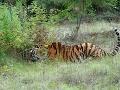 Poplach v Paríži: Z cirkusu utiekol tiger, jeho sloboda mala tragický koniec