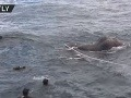 VIDEO super záchrany slona, ktorý si chcel skrátiť cestu: Potápači mali čo robiť