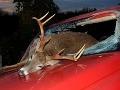 deer accident