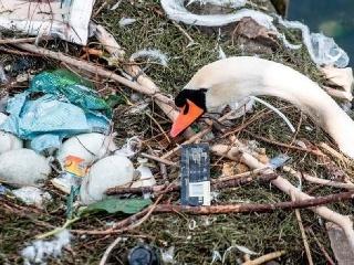 Smutný pohľad na labutie hniezdo