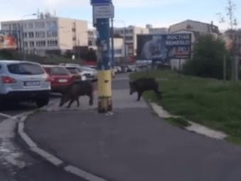 Ďalší útok divých potvor: VIDEO Prechádzka na bratislavskom sídlisku, ľudí už majú v paži