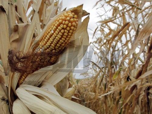 Poľnohospodári zbierajú svoju úrodu
