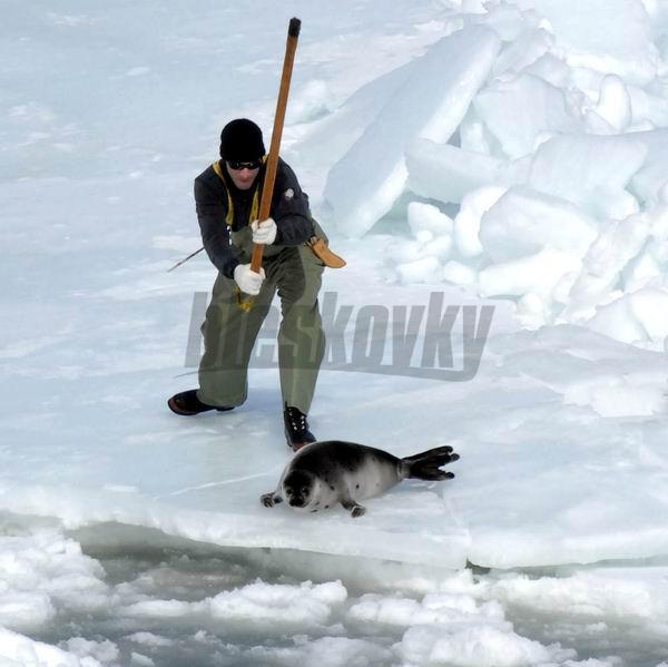 Útek o život. Nešťastný tuleň však lovcovi neunikol...