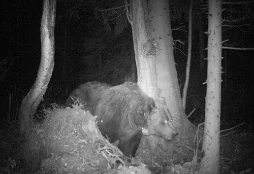 Medvede sú na potulkách