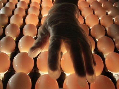 Milióny nakazených vajec, ohrozené