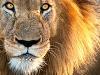 Lev, Afrika