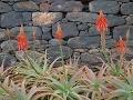 Z Aloe na Madeire