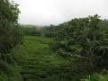 Jediné čajové plantáže v
