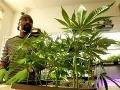 Viacerí farmári pestujú marihuanu