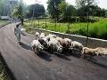Kašmírsky pastier ženie stádo