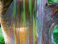 Dúhový eukalyptus