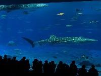Okinawa Churaumi Aquarium, Japonsko