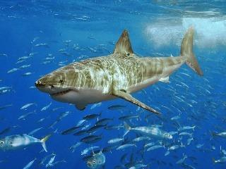 RUSKO - K dvom útokom žraloka na ľudí za 24 hodín došlo v ruskom ...