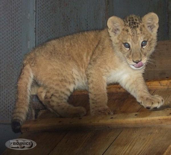Mláďa leva berberského