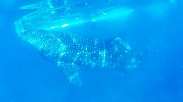 Potápanie so žralokmi veľrybími