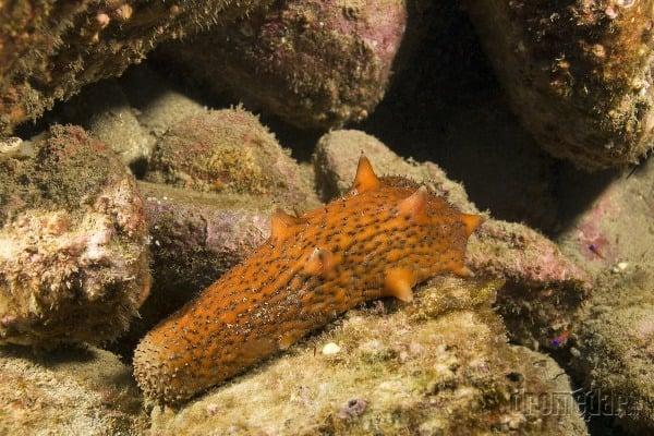 Holotúria (morská uhorka)
