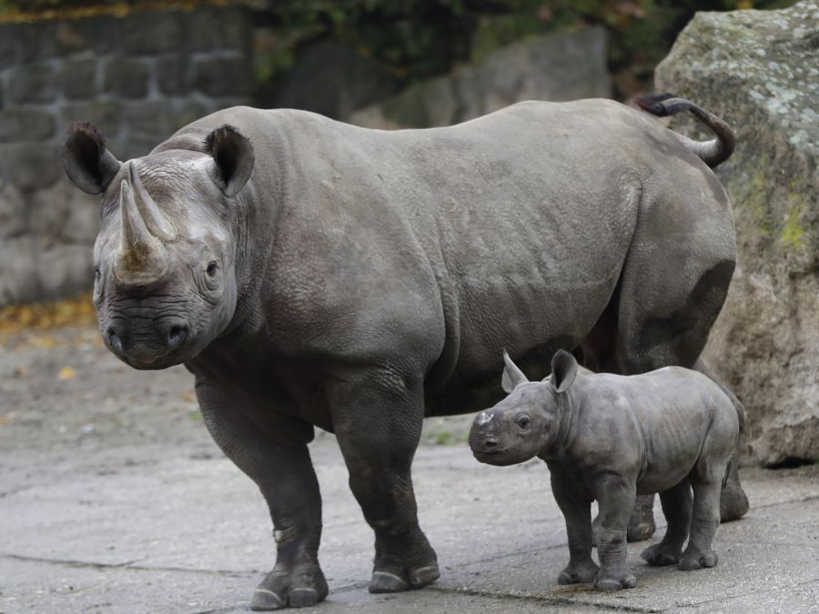 Mláďa nosorožca dvojrohého s matkou