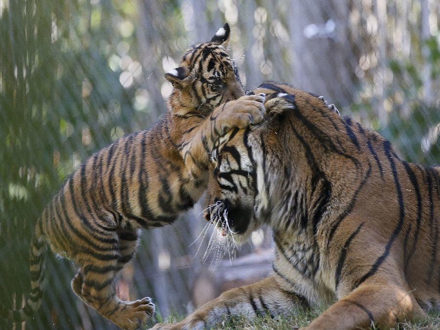 Tiger sumatranský v ZOO