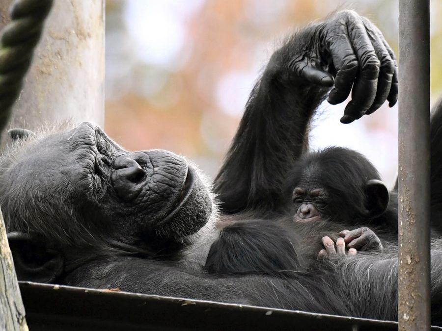 Šimpanzia matka s mláďatami