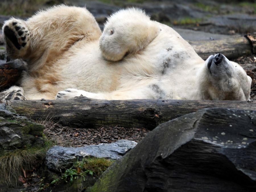 Polárny medveď Wolodja si dal šlofíka