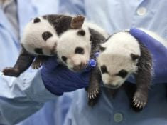 Pandie trojčatá