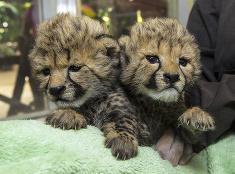 Gepardie mláďatá