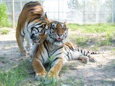Zákonom chránené tigre