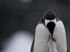 Tučniaky Gentoo