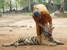 Mních sa hrá s tigrom
