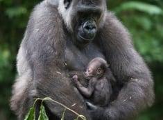 Gorilia matka