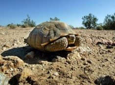 Ohrozená púštna korytnačka
