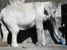Najstarší slon v Japonsku