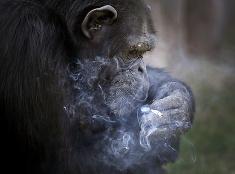 Fajčiaca opica