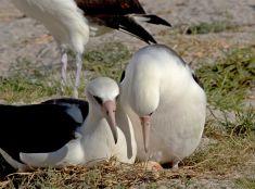 Najstarší morský vták čaká opäť mláďa
