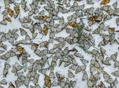 Motýle v snehu