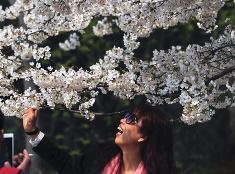 Čerešňové kvety Sakury v Číne