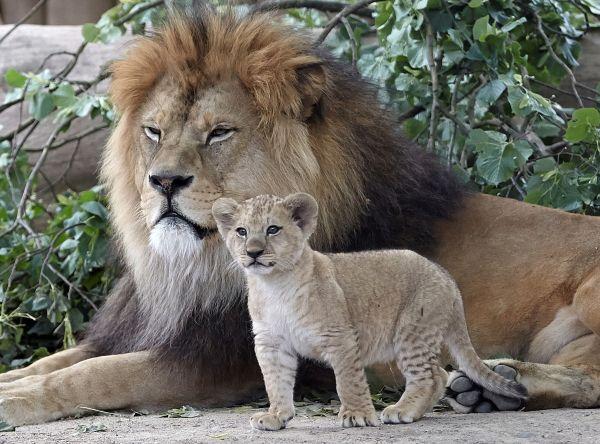 Mláďa leva berberského s otcom