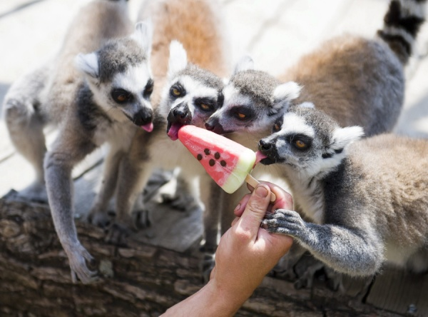 Lemury v ZOO