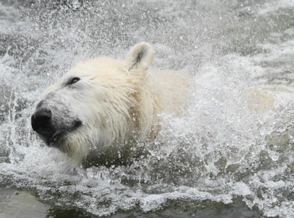 Ľadový medveď v zoo v Berlíne