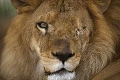 Jednooký lev
