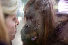 Orangután Sandra