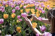 Festival tulipánov