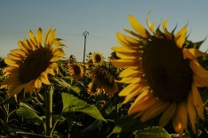 Krásne slnečnice