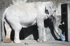 Japonsko sa hrdí 69-ročným slonom Hanakom.