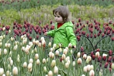 Kanadský tulipánový festival