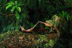 Chameleón útočí